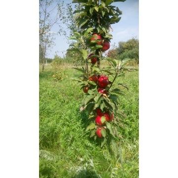 Jabłoń kolumnowa