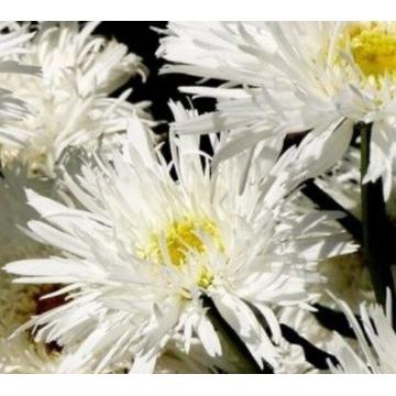 Złocień Crazy Daisy o kwiatach pełnych. Sadzonka.