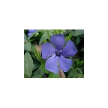 Barwinek  - fioletoworóżowy - dorodna SADZONKA