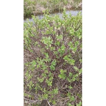 jagoda kamczacka sadzonki 3 letnie kopane z gruntu