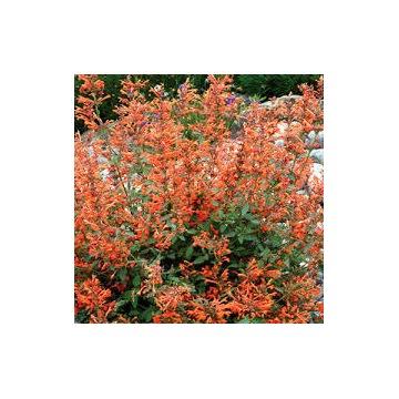 Agastache (Kłosowiec) Kudos Mandarin - aromatyczna