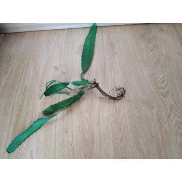 Epiphyllum sadzonka ukorzeniona