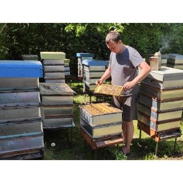 Matki pszczele ELGON wysyłka 28.06 jednodniówki