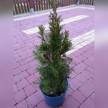 Tuja Thuja szmaragd 50-60cm cena 6,5zł 699-094-550