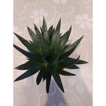 Aloes Sukulent Kaktus żywy