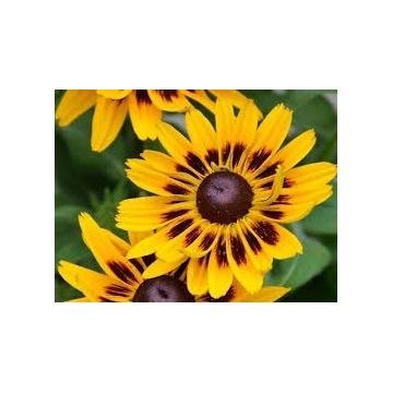 Rudbekia- bezobsługowa kwitnąca bylina