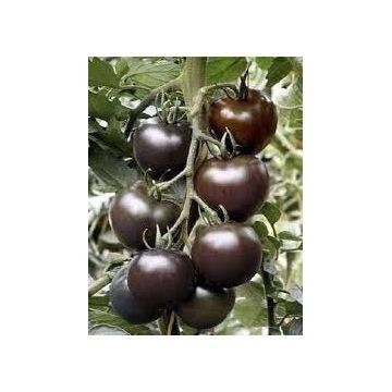 Pomidor Black Cherry - sadzonki doniczkowe