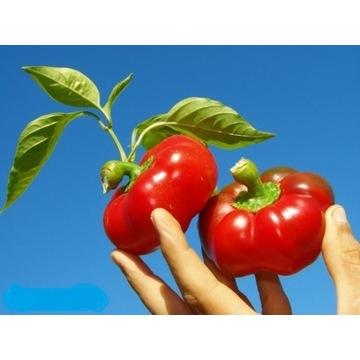 Papryka pomidorowa Oleńka sadzonki