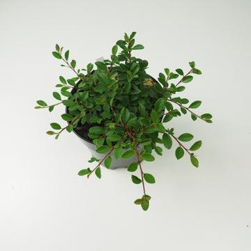Irga różne odmiany / Cotoneaster gęste sadzonki
