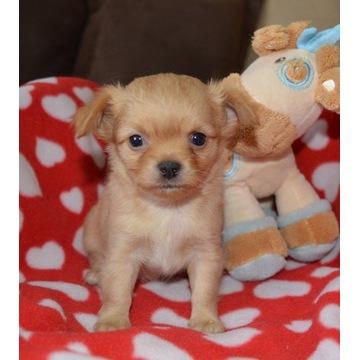 Chihuahua szczenięta piesek suczka rodowód ZKwP