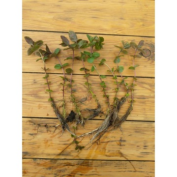 Mięta nadwodna roślina do oczka wodnego