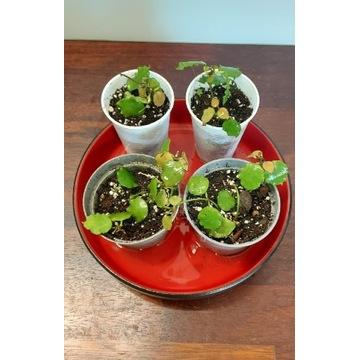 Hoya endauensis, hoja kolekcjonerska, ukorzeniona