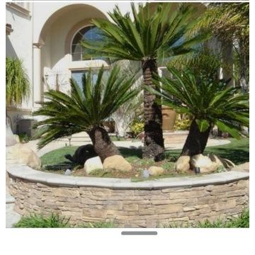 Palma Trachycarpus Fortunei mrozoodporna 250cm