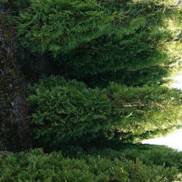 Tuja Smaragd 180 200cm