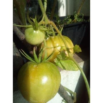 Pomidor MIX ODMIAN sadzonki 30-50cm TANIA DOSTAWA