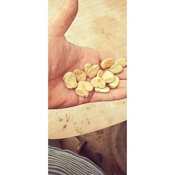 Bób suchy (nasiona) odmiana Bizon 2020-cena za 1kg