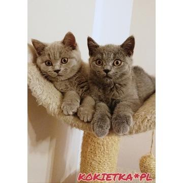 Wyjątkowe Kotki Brytyjskie/Szkockie krótkowłose