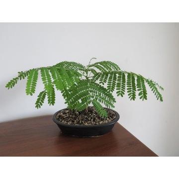 Delonix Regia -Płomień Afryki drzewko bonsai