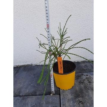 Żywotnik whipcord  0.9litra doniczka krzew tuja