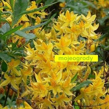 azalia PONTYJSKA Rh ponticum wonna piękność sadz
