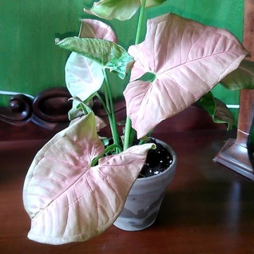 Syngonium Red Heart Philodendron