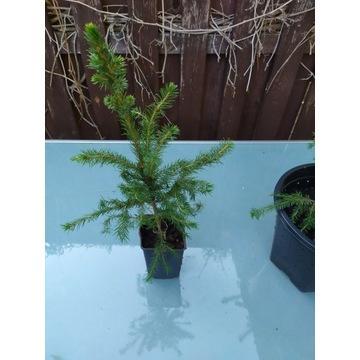 Świerk serbski (Picea omorika) 10zł