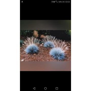 Niebieska trawa !!! Ładne sadzonki !!!
