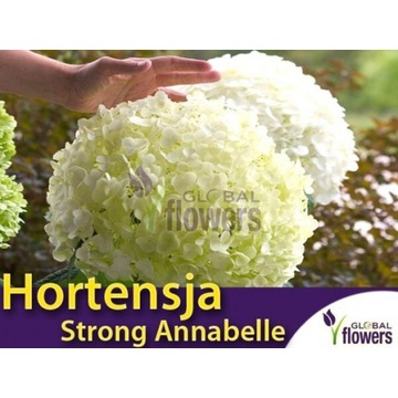 Hortensja Anabelle Annabelle Strong sadzonki XL