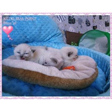 Kocięta syjamskie kotki kocurki z rodowod Bijou*pl