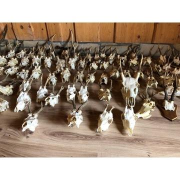 poroża z czaszką rogi jelonka jelenia koziołka