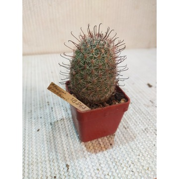 Kaktusy Mammillaria grahamii SB863