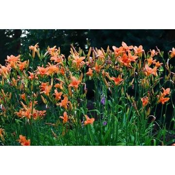 Liliowce, byliny mrozoodporne, rośliny do ogrodu