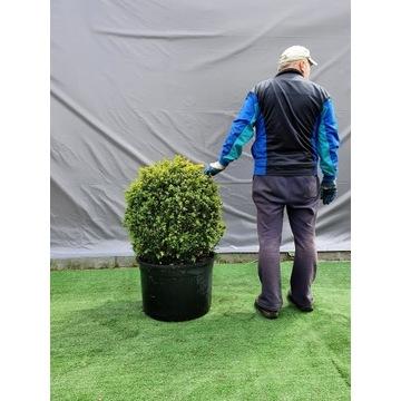 Bukszpan wiecznie zielony Buxus sempervirens KULA