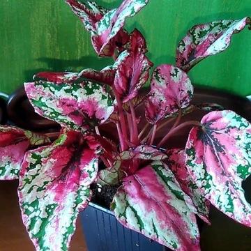 Begonia Merry Chrismas Rarytas kolekcjonerski
