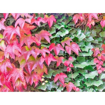 Pnącze bluszcz Winobluszcz japoński duze sadzonki