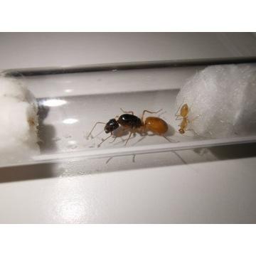 Camponotus fedtschenkoi - mrówki do formikarium