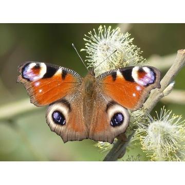 Motyl: Rusałka Pawik -  5 gąsienic do hodowli