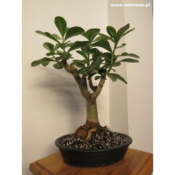 Adenium miniBaobab Drzewko Bonsai Formowane