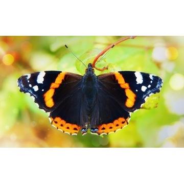 Motyl Rusałka Admirał - gąsienica do hodowli