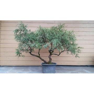 Cyprysik groszkowy sungold bonsai/niwaki
