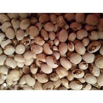nasiona fasoli z monstrancją