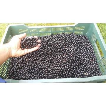 Aronia BIO owoce gospodarstwo ekologiczne