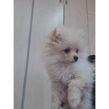 Szpic Miniaturowy Pomeranian