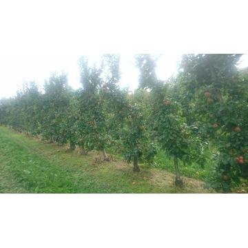 SPRZEDAJEMY CZAS -- duże drzewa owocowe małopolska