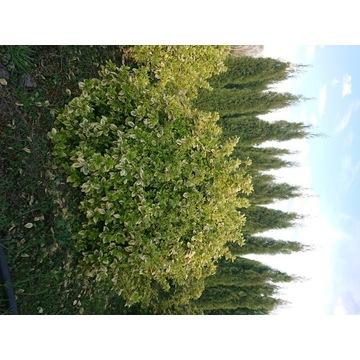 Trzmielina duże krzewy