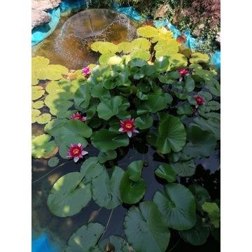 Lilia wodna czerwona