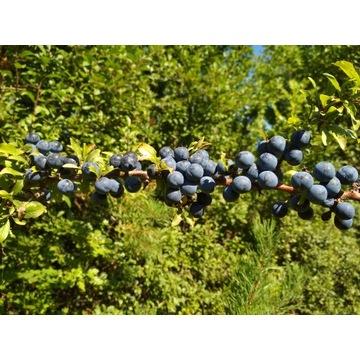 Tarnina owoc świeży z Bieszczad
