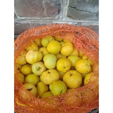 Owoce pigwowca , świeże, doskonałe na soki, nalewk