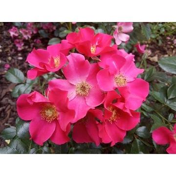 Róża okrywowa Stadt Rom ADR goły korzeń, b. zdrowa