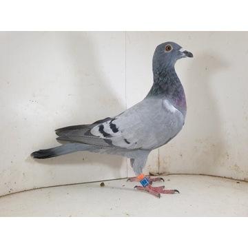 Samica 100 % Bula-Latacz gołąb gołębie pocztowe
